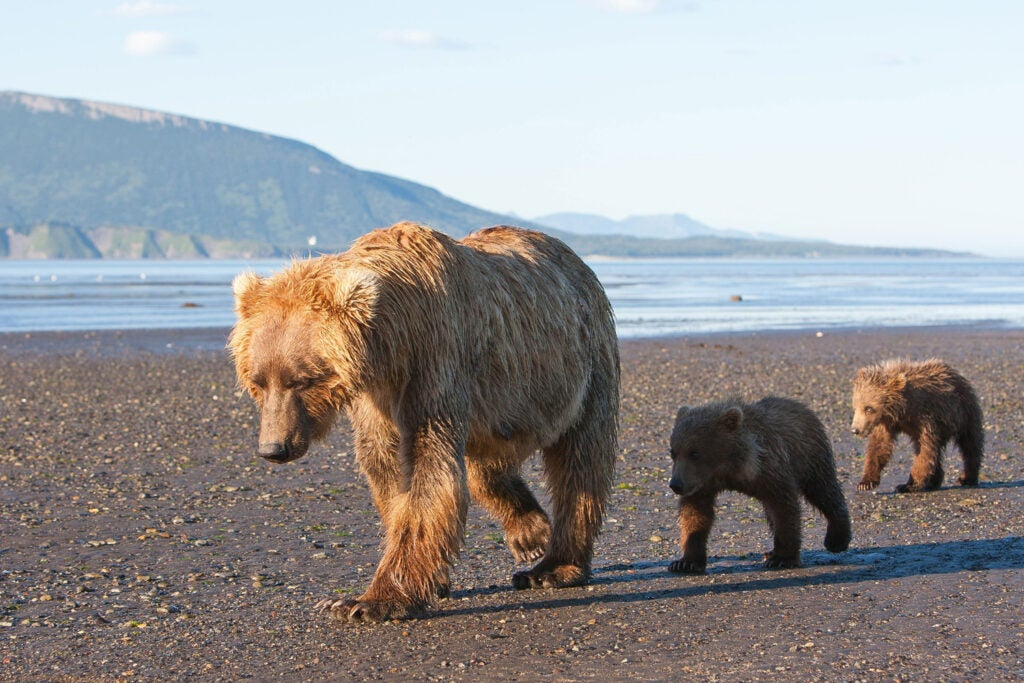 httpswww.fieldandstream.comsitesfieldandstream.comfilesimport2014importImage2011photo38356BARM_BearWars_Alaska_EXCL_024.jpg