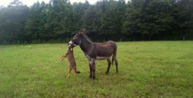 Meet Buck, the Coyote-Hunting Donkey