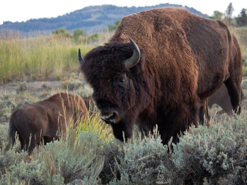 bison embryo