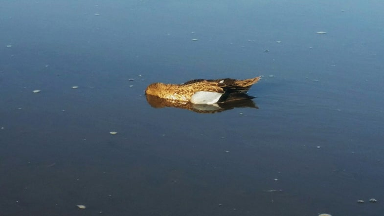 Ethics Question: What Do You Do When You Find a Dead Duck?