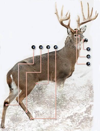 Understanding Seven Deer Glands