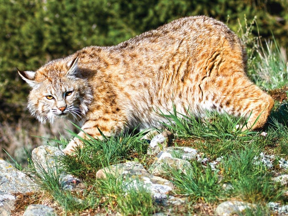 Bobcat prowling