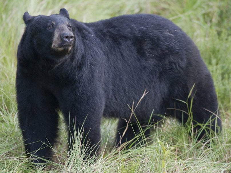Florida Cancels Bear Hunt Owing to Public Pressure