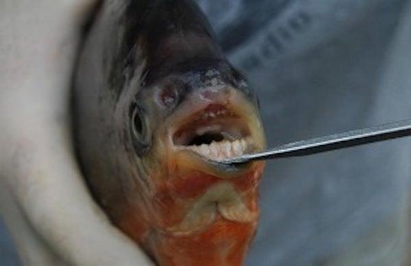 South American Pacu Fish Found in Michigan Waters