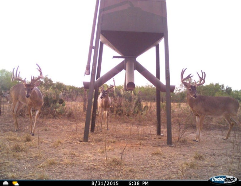 Spring Rains Mean Extra Antler Growth in South Texas