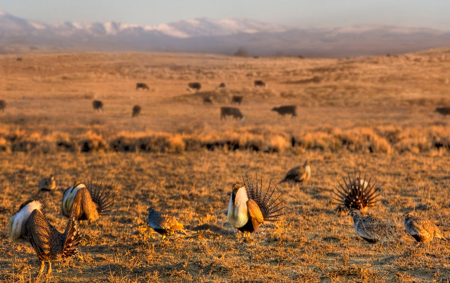 sage grouse and conservation