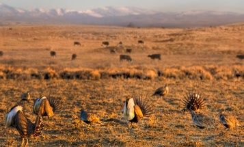 Sportsmen's Groups Respond to Controversial Changes in Sage Grouse Management