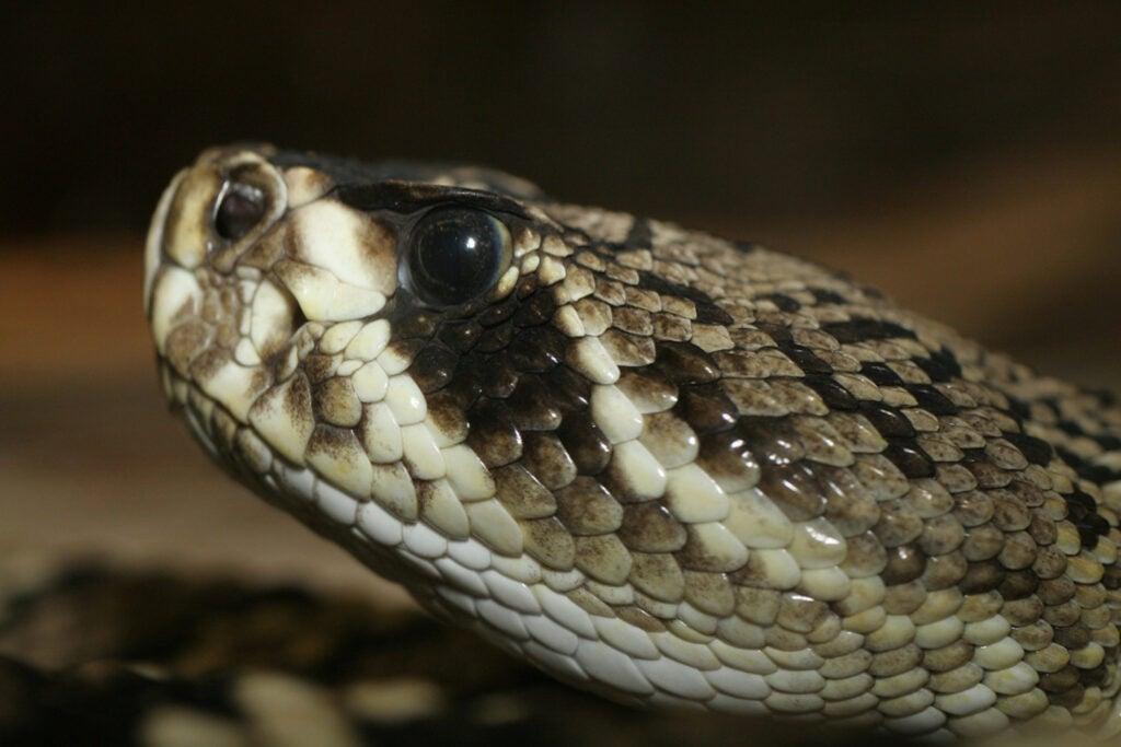 Crotalus adamanteus; eastern diamondback; rattlesnake; St. Louis zoological park