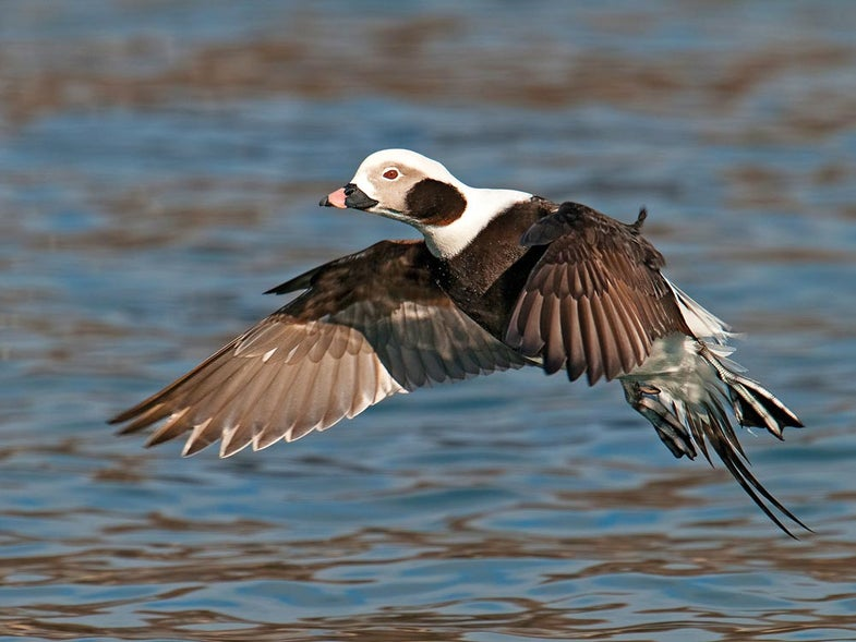 A drake long-tailed duck