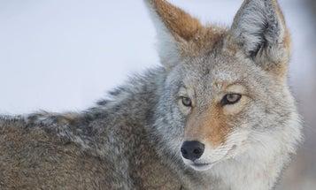Predator Hunting: 3 Distress Calls that Will Bring Coyotes Running