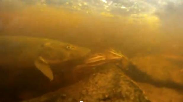 Video: Monster Muskie Spawning