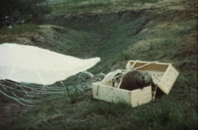 Video: Beavers Dropped From Planes in Unearthed 1950s Footage