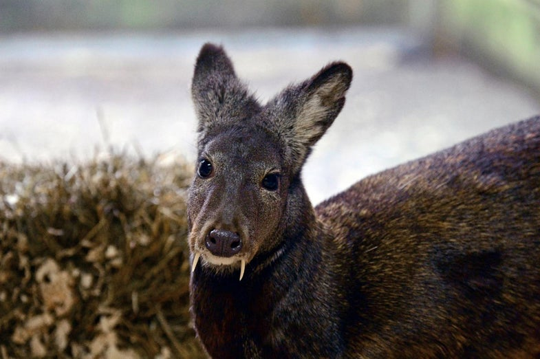 Fanged Deer Thought to Be Extinct is Found in Afghanistan