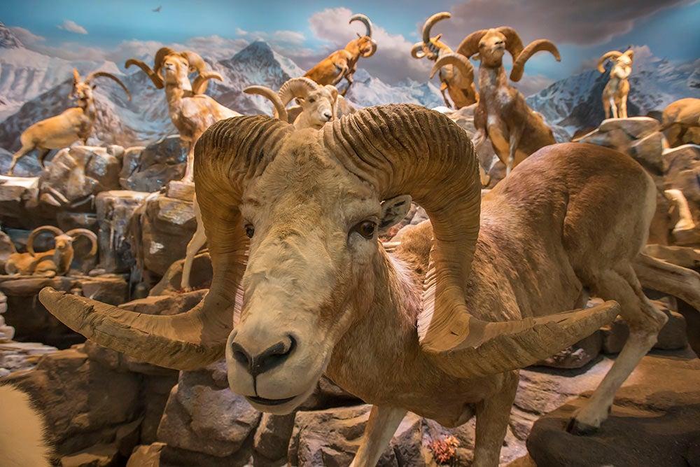 sheep mountain closeup Wonders of Wildlife National Museum & Aquarium