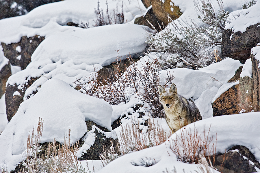Snow Dogs: Hunting The Coyote Rut