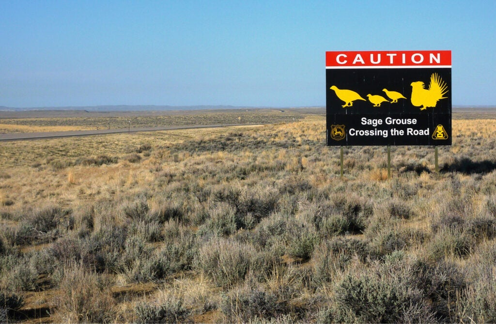 sage grouse crossing