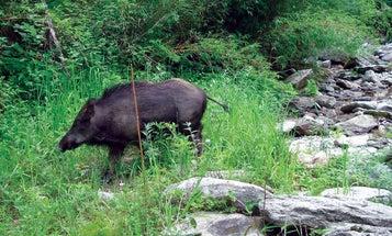 Gun Nut Challenge #12: The Bayed Boar