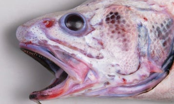 Photos: Bizarre New and Rare Fish Species Found in Deep Waters off New Zealand
