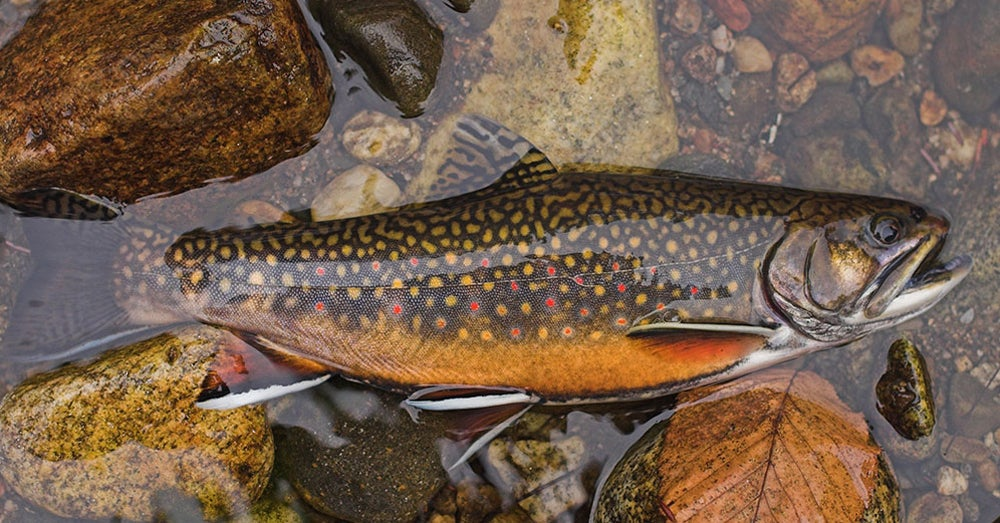 brook trout,