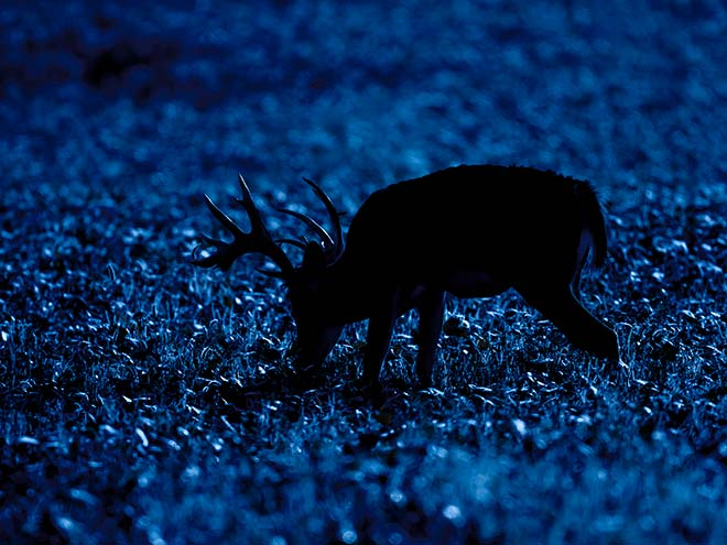 White Tailed Deer Late Night Snack