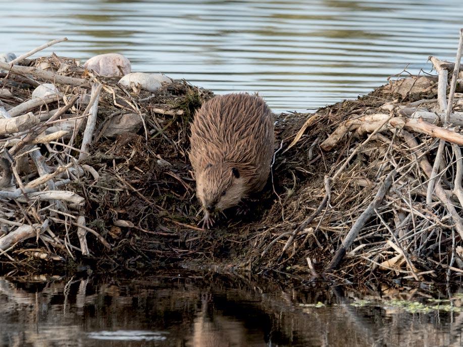 Beaver, the roast beef of the creek