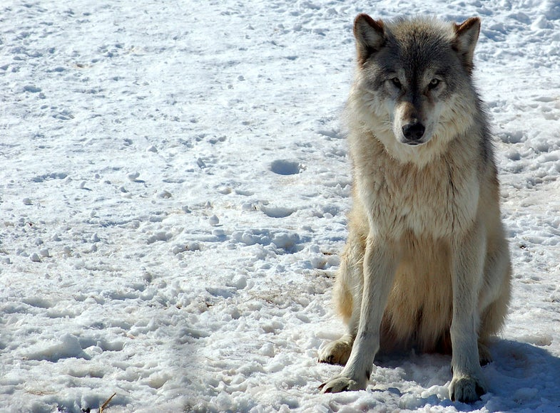 Gray Wolf Population on the Rise in the Midwest