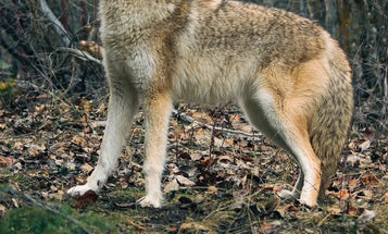 Why November is The Best Time to Hunt Coyotes