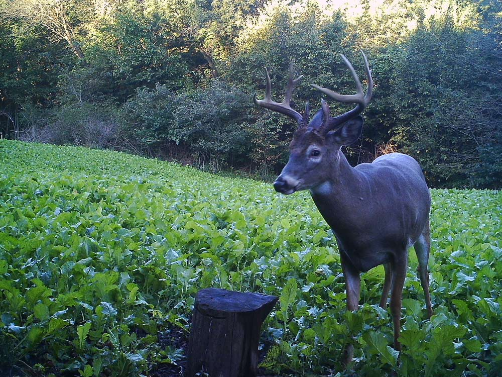 Trail cam of Bucktucky whitetail food plot