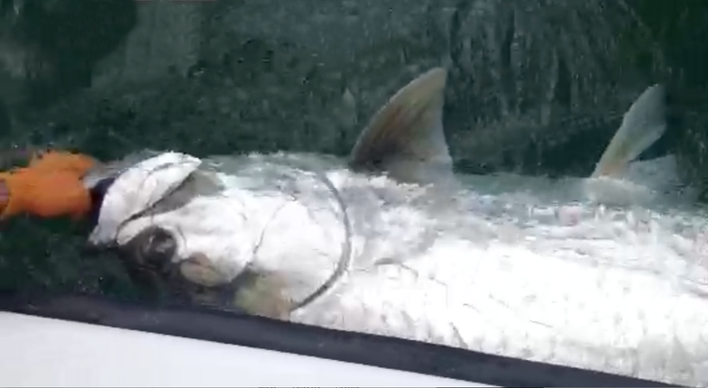 Catch-and-Release 300-Pound Tarpon Could Have Been a World Record