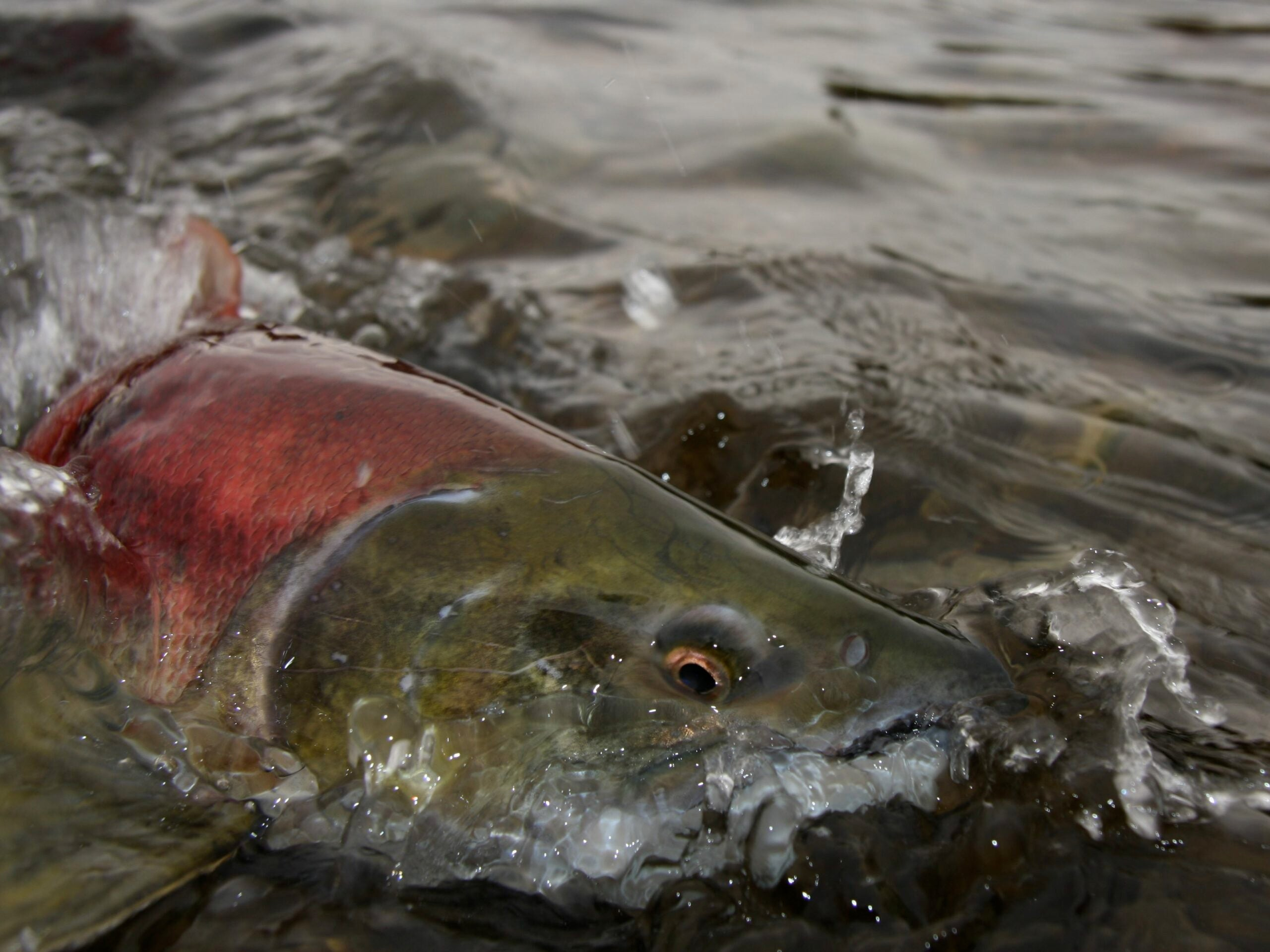 Salmon, Steelhead Continue Repopulating Upper Elwha River after Dam Removal