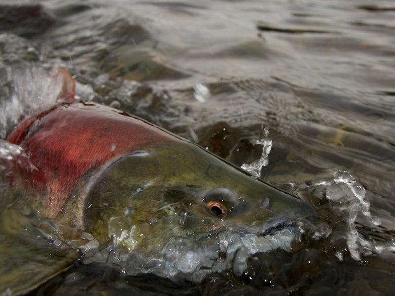 Salmon, Steelhead Continue Repopulating Upper Elwha River after Dam Removal