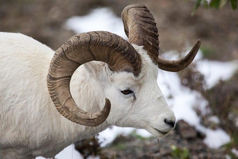 dall sheep ram in alaskan mountain