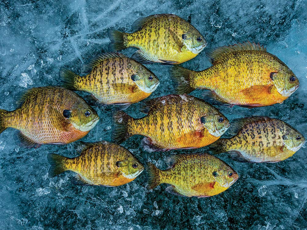 bluegill on ice