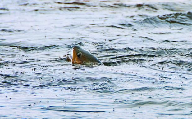 Micro Managing: Tips For Catching Big Trout in the Middle of Summer