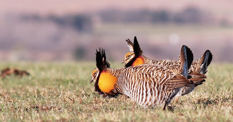 Historic Agreement Heralds New Era in Prairie Grouse Research