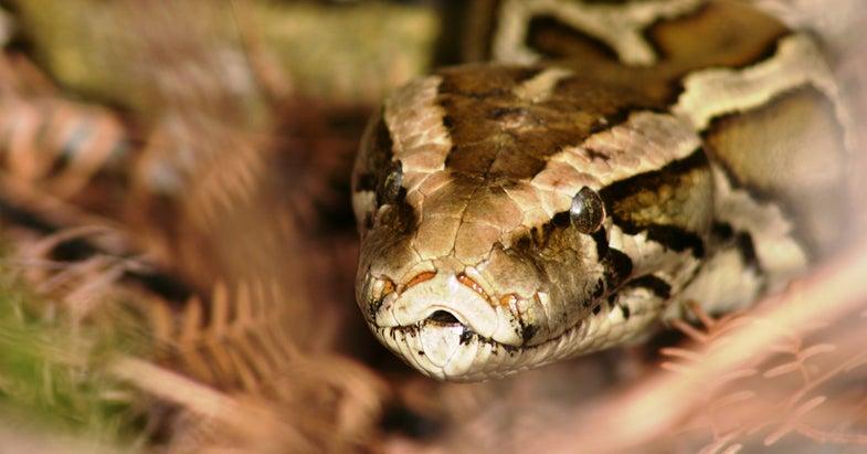 Florida Expands Python Hunting
