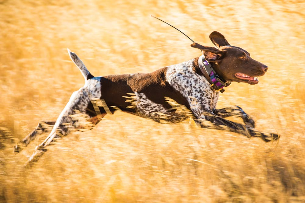 hunting dog running through a field