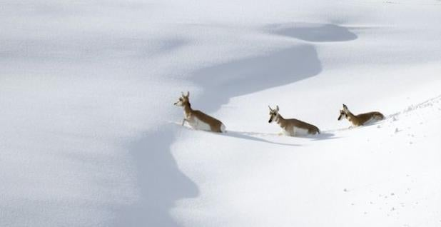 httpswww.fieldandstream.comsitesfieldandstream.comfilesimport2014importBlogPostembedFNpronghorn-snow-migration-stragglers_10168_600x450.jpg