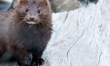 Nearly 40,000 Minks Released From Minnesota Farm