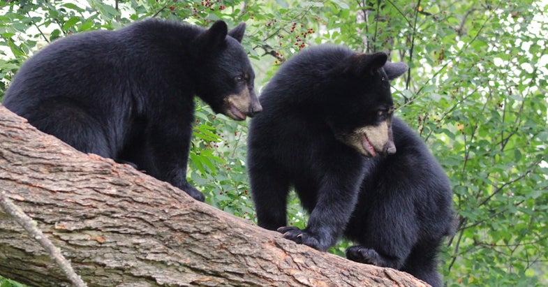 Colorado Man Faces Jail Time After Shooting Bear Cubs
