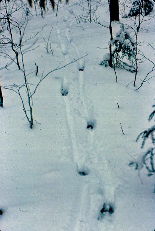 httpswww.fieldandstream.comsitesfieldandstream.comfilesimport2014importImage2011photo38356Slide_17_-_Buck_tracks_in_snow.JPG