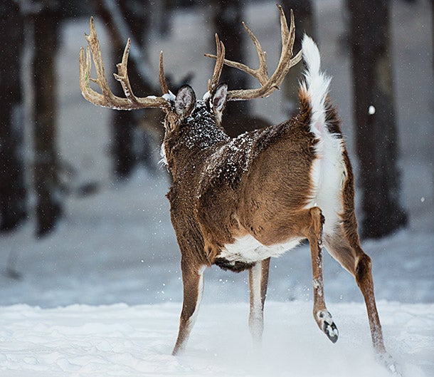 Deer Hunting Tip: Track Down a Bumped Buck