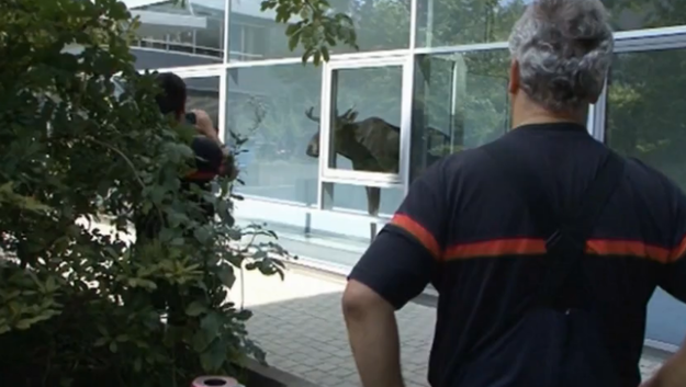 Moose Wanders Into Office Building in Germany, Doesn't Want to Leave