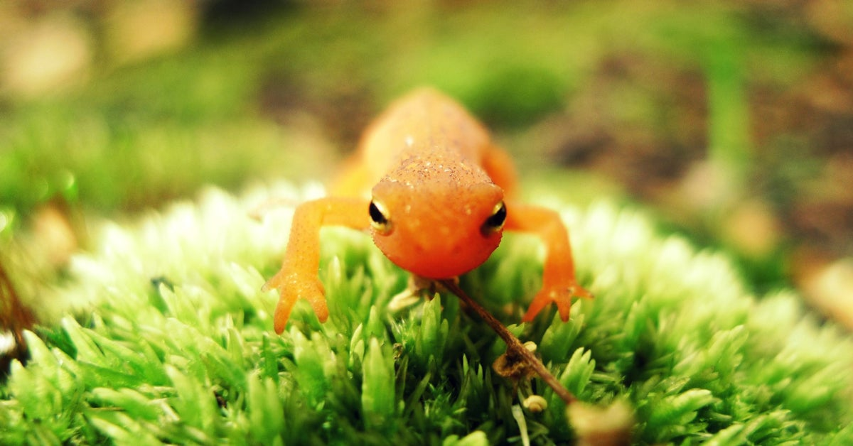 amphibian conservation, amphibian population declines, USGS, U.S. Geological Survey, chytrid fungus, endangered amphibians, amphibian extinction
