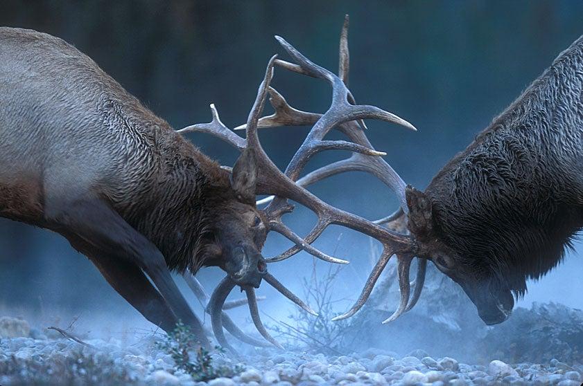 Bulls In Rut: Elk Fighting Behavior Captured In Photos