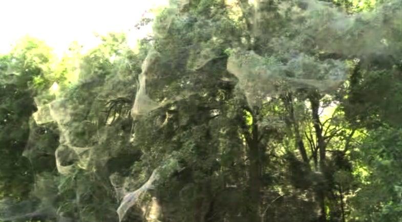 Gigantic Spider Web Blankets Texas Park