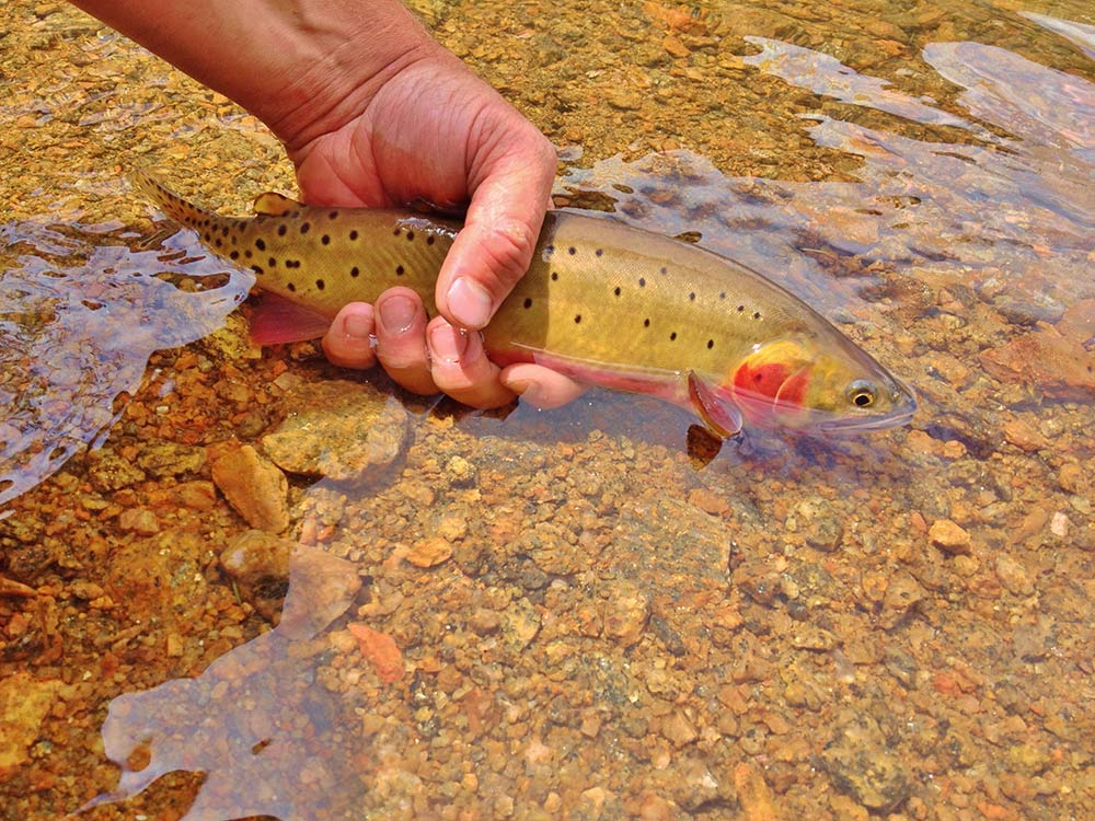 cutthroat trout in a stream at Arapahoe-Roosevelt National Forest
