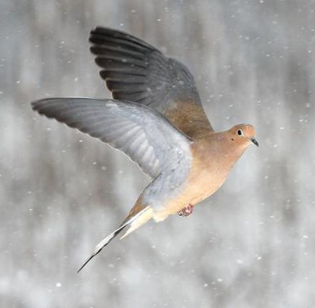httpswww.fieldandstream.comsitesfieldandstream.comfilesimport2014importBlogPostembedFN_mourning-dove.jpg