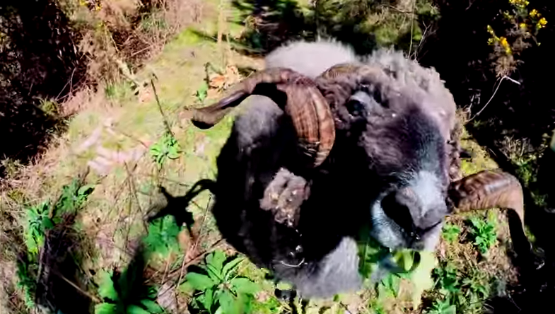 Video: 'Angry Ram' Takes Out Drone, Almost Gets Pilot Too
