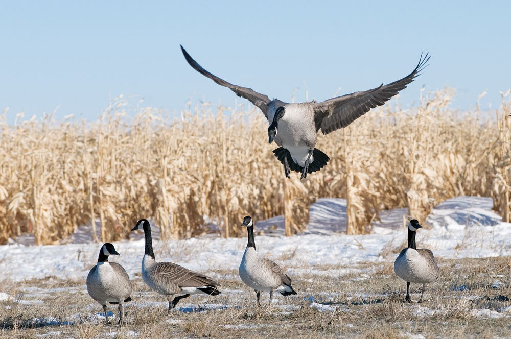 Six Tips for Bagging Late-Season Canada Geese